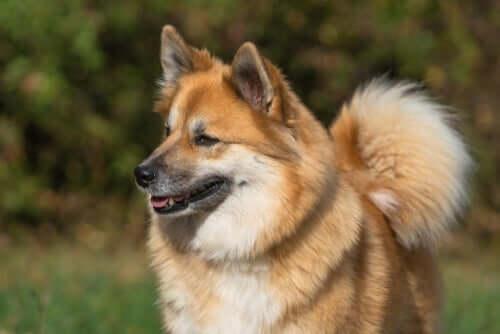 Исландская собака: что особенно важно в его поведении?