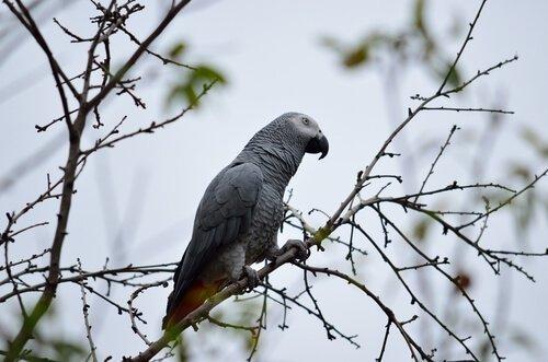 Серый попугай: все, что вам нужно знать о позе
