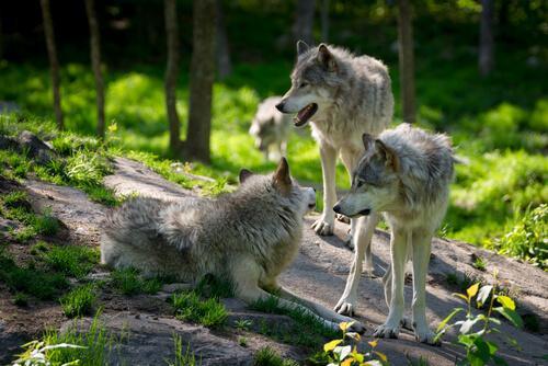 Поведение волчьей стаи