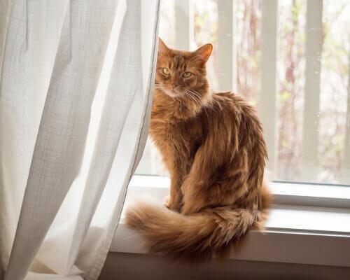Сомалийский кот: личность и отношение