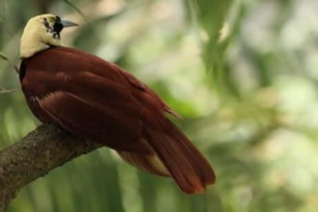 Райские птицы: виды и характеристики