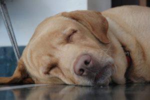 Сколько сна нужно старшим собакам?