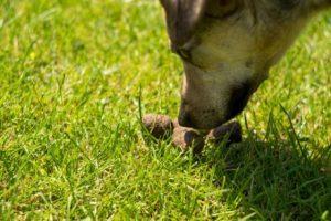 Лечение копрофагии у собак