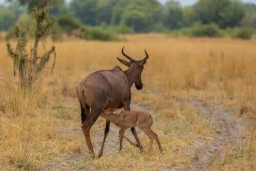 Leierantilope: особенности и среда обитания
