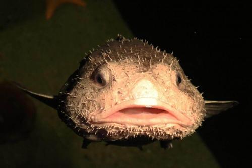 Blobfisch: среда обитания и свойства