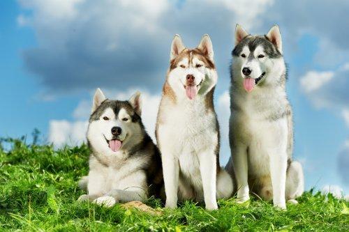 Волчьи собаки и породы