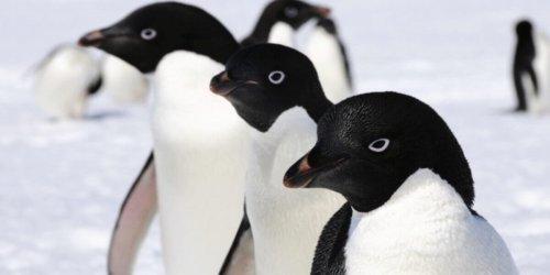 Кладбище пингвинов в Антарктиде: жертвы изменения климата