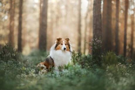 Shetland Sheepdog, происхождение и характеристики