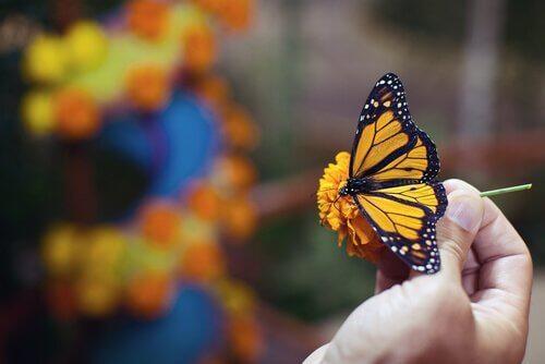 Бабочка монарха: бабочки, которые путешествуют далеко